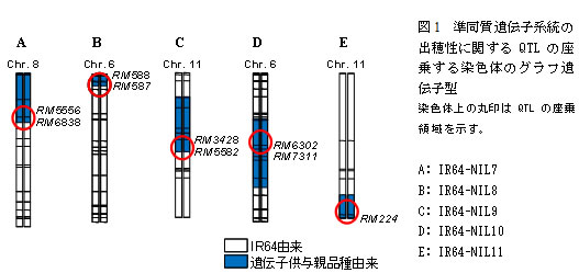 図1 準同質遺伝子系統の出穂性に関するQTLの座乗する染色体のグラフ遺伝子型