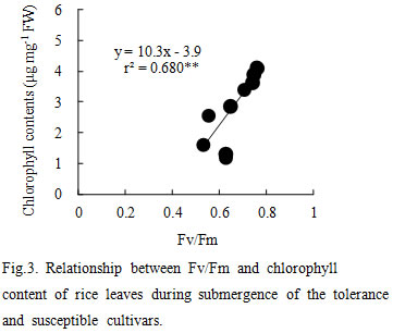 Fig.3. Relationship between Fv/Fm and chlorophyll content of rice leaves during submergence of the tolerance and susuceptible cultivars.