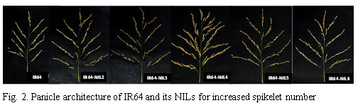 Fig.2. Panicle architecture of IR64 and its NILs for increased spikelet number