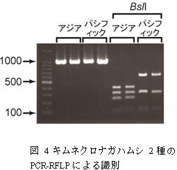 図4 キムネクロナガハムシ2種のPCR-RFLPによる識別