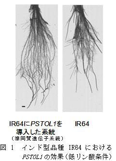 図1 インド型品種IR64におけるPSTOL1の効果(低リン酸条件)