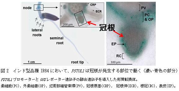 図2 インド型品種IR64において、PSTOL1は冠根が発生する部位で働く(濃い青色の部分)