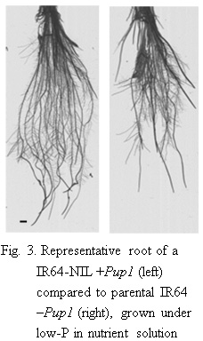 Fig.3. Representative root of a IR64-NIL + Pup1 (left) compared to parental IR64 -Pup1(right), grown under low-P in nutrient solution