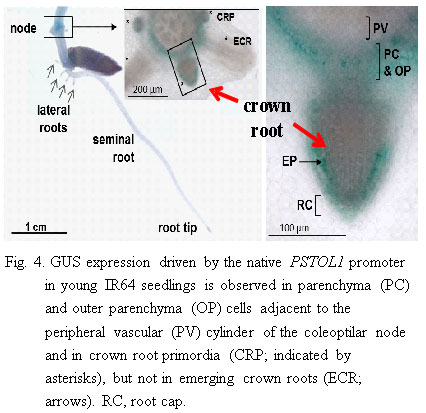 Fig.4. GUS expression driven by the native PSTOL1 promoter in young IR64 seedlings