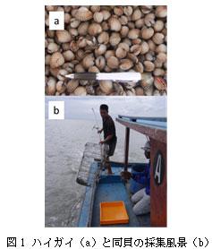 図1 ハイガイ(a)と同貝の採集風景(b)