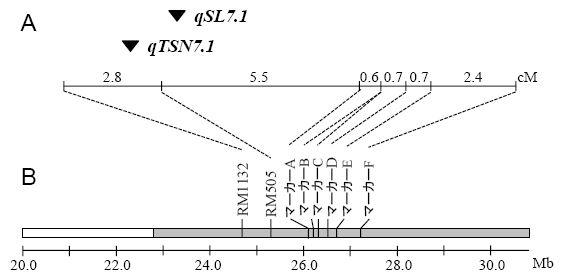 図1 第7染色体長腕に検出された一穂籾数(qTSN7.1)と籾長(qSL7.1)のQTLの座乗位置