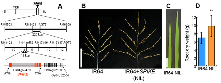 Fig. 1 Chromosomal location of SPIKE (A), panicle architecture (B), flag leaf width (C) and root dry weight (D). Values are mean ± SD. **Significant at 1% level by t-test.