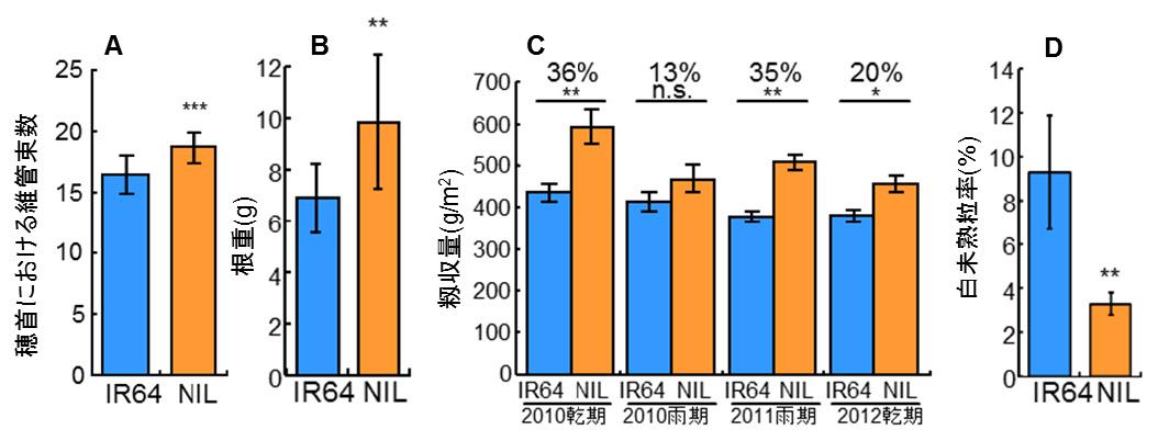 図2 インド型品種IR64とIR64にSPIKEを導入した準同質遺伝子系統(NIL)の表現型や収量の比較