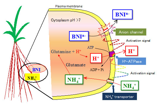 Fig. 4. Hypothesis on the transport of biological nitrification inhibitors (BNIs), driven by plasma membrane H+-ATPase, associated with NH4++ uptake and assimilation in sorghum.