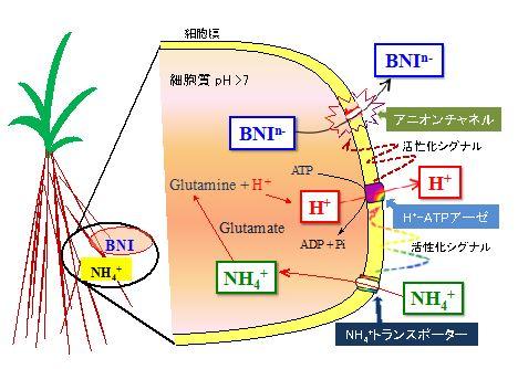 図4 ソルガムにおけるアンモニウムイオン(NH4+)の取り込みによる硝化抑制物質(BNIn- )の分泌機構の推定図