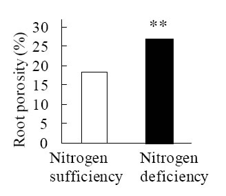 Fig. 2. Increased root porosity by nitrogen deficiency.