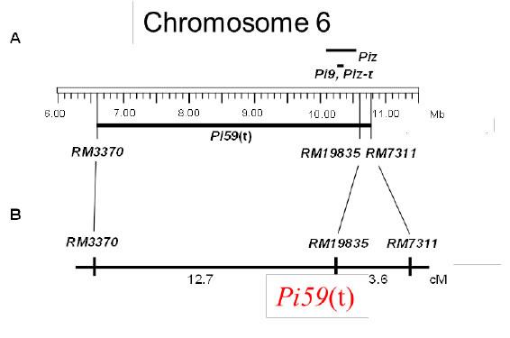 Fig. 1a. Position of resistance gene, Pi59(t), on chromosome 6.