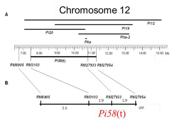Fig. 1b. Position of resistance gene, Pi58(t), on chromosome 12.