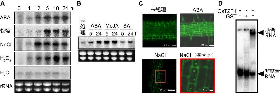 図1 OsTZF1遺伝子の発現、OsTZF1タンパク質の細胞内局在、およびRNA結合性