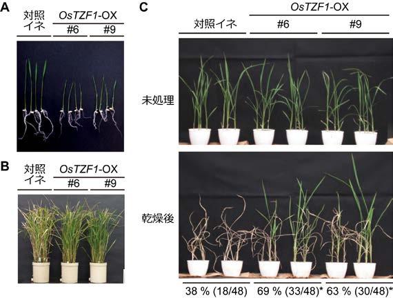 図2 OsTZF1過剰発現イネ(OsTZF1-OX)の表現型