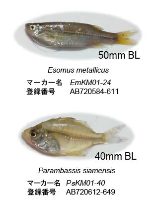 図1 対象2魚種と開発されたDNAマーカーの登録番号