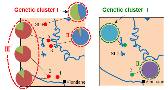 Fig. 3. Structures of genetic clusters of E. metallicus (left) and P. siamenssis (right).