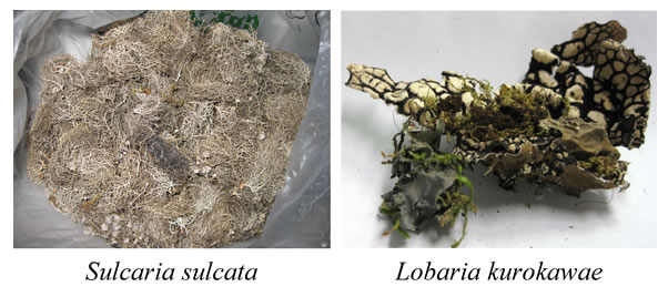 Fig. 1. Pictures of Sulcaria sulcata and Lobaria kurokawaem.