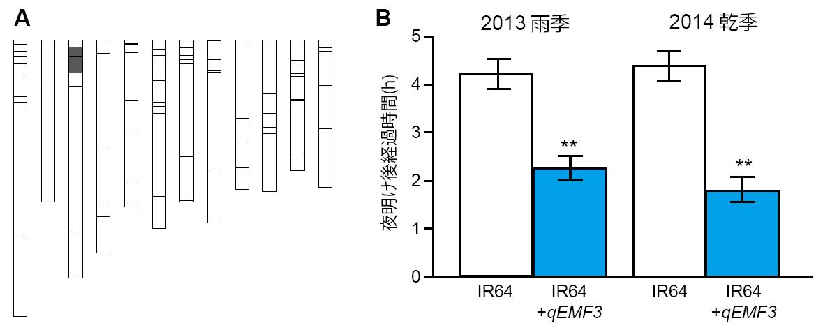 図1 早朝開花系統(IR64+qEMF3)の遺伝子型模式図(A)とIR64との開花時刻の比較(B)