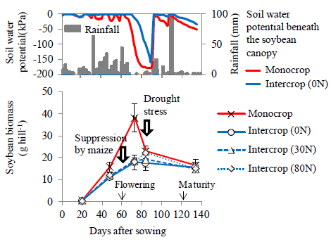 Fig.1.Changes in soil water potential beneath the soybean canopy at 20cm deep (above figure) and in aboveground soybean biomass (below figure) in Nampula.