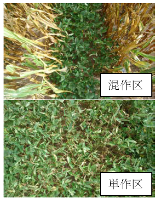 図2 Nampulaにおける干ばつ後のダイズ生育比較 混作区に比べ、単作区のダイズ葉の枯死が著しい。