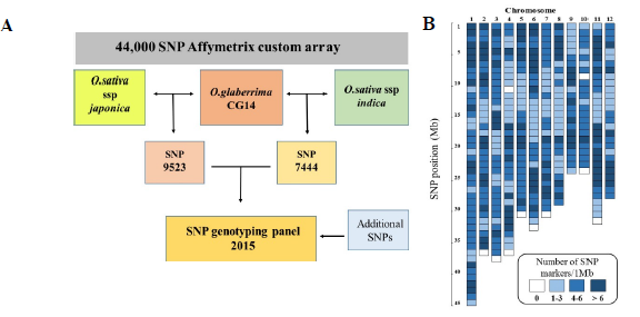 Fig. 1. Flow chart indicating the selection of polymorphic SNPs between O. glaberrima vs O. sativa ssp japonica and indica for conversion into PCR-based markers (A). Distribution of SNP markers along the rice genome(B).