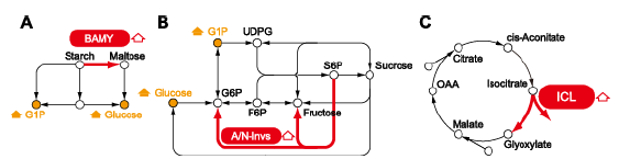 Fig. 1. Carbohydrate and amino acid metabolic pathways. (A) Starch degradation; (B) Sucrose metabolism; (C) Glyoxylate cycle: BAMY, β-amylase; A/N-invs, alkaline/neutral invertase; ICL, isocitrate lyase.
