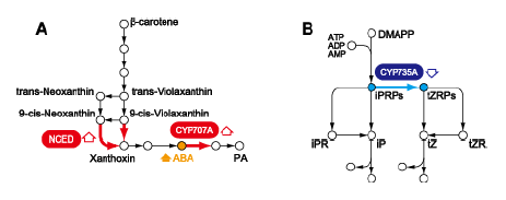 Fig. 2. Pathways for ABA and CK biosyntheses. (A) ABA biosynthesis; (B) CK biosynthesis. NCED, 9-cis-epoxycarotenoid dioxygenase.