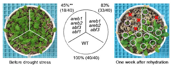 Fig. 1. The areb1 areb2 abf3 abf1 quadruple knockout mutant displays enhanced sensitivity to drought compared with the areb1 areb2 abf3 triple knockout mutant.
