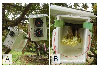 Fig. 1. Temperature controller set on a flower cluster. A: A polystyrene foam box equipped with Peltier devices was used as controller.B: Inside the controller (The lid was left open during daytime).
