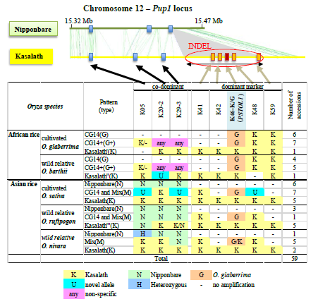 Fig. 1. Characterization of the Pup1 locus in Nipponbare and Kasalath, and cultivated and wild rice genotypes. A main difference is the absence of a 90 kb INDEL region in Nipponbare containing OsPSTOL1 and 20 other Kasalath-specific genes.
