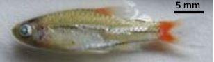 図1 ラオス在来コイ科Rasbora rubrodorsalis 親魚(体長24.3mm)