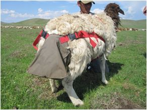 Fig. 2. Fecal bag attached to the sheep
