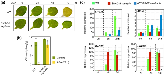 Fig. 1. Chlorophyll degradation and gene expression in ABA-treated wild-type and ABA-treated mutant leaves.
