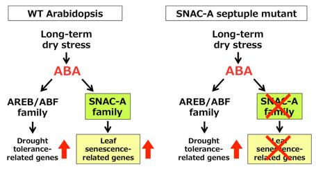 Fig. 2. Molecular mechanism of leaf senescence during long-term dry stress.