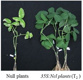 Fig. 2. Overexpression of Ncl in transgenic soybean lines enhanced its salt tolerance.