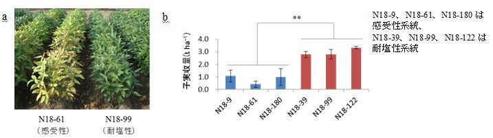 図4 塩害圃場におけるNclの耐塩性効果