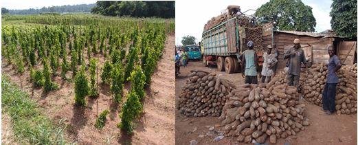 Fig. 1. Yam germplasm field (left) and tubers sold in the market (right)
