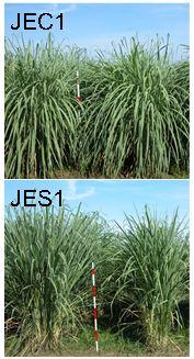 図1 「JEC1」および「JES1」の草姿
