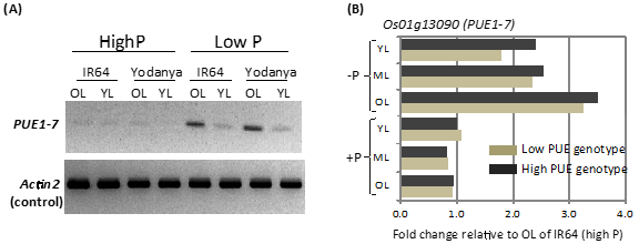 Fig. 2. Gene expression analysis for candidate gene (PUE1-7) of the PUE locus on chromosome 1