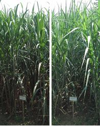 Fig. 1. TPJ03-452 (left) and TPJ04-768 (right) planting canes.