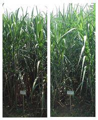 図1 「TPJ03-452」(左)と「TPJ04-768」(右)の草姿(新植栽培)