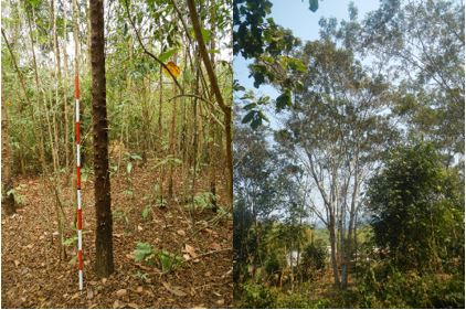 Fig. 2. Villagers prefer these tree species for firewood use(Left: Cratoxylum sp., Right: P. dasyrachis)