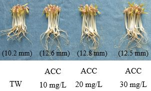 Fig. 4. The effect of SAEW on mungbean sprouts after 108 hours of germination