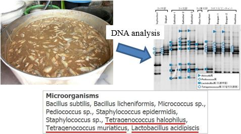 Fig. 2. Newly identified lactic acid bacteria from fermented fish