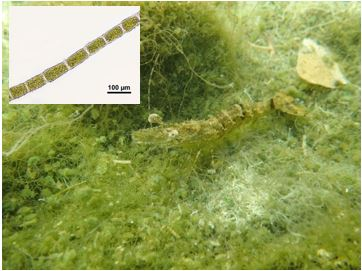 Fig. 1. Chaetomorpha sp. and giant tiger prawn. Inset photo (upper left corner) shows microscopic photograph of Chaetomorpha sp.