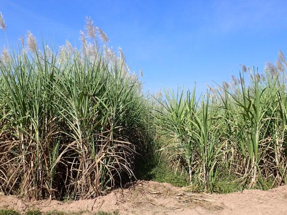 図1 多用途型サトウキビ品種(左)と製糖用品種(右)