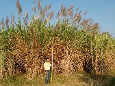 図2 東北タイで旺盛な生育を示すエリアンサス