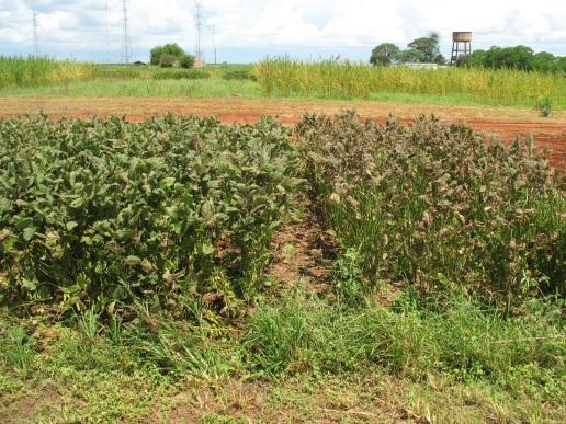 図2 育成中のさび病抵抗性大豆系統(左)と感受性栽培品種(右)