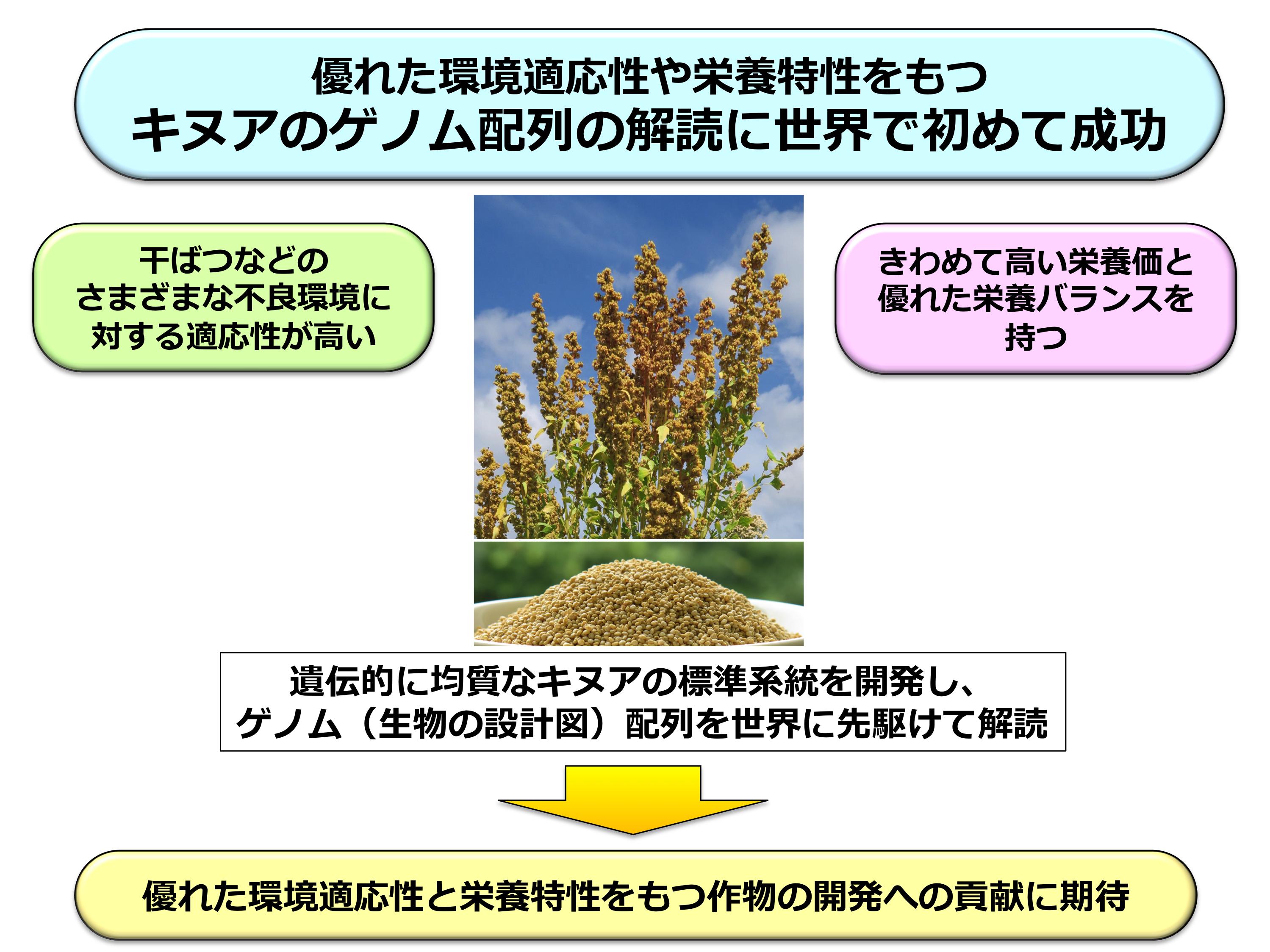 図3. キヌアのゲノム解読が切り拓く新たな作物改良への展開